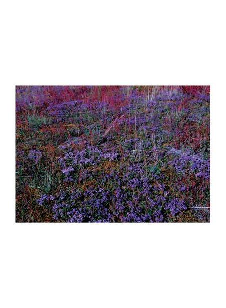 AMV74/134 Čiobrelių kilimai Lietuvos pievose/Thyme carpets in Lithuania meadows