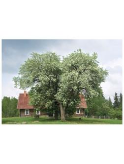 AMV73/134 Lietuvos pavasario žydėjimas/Lithuanian spring blossoms
